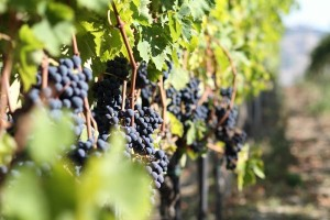 Dezi Vineyard